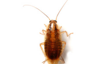 Cockroach Control – Get Rid of Roaches