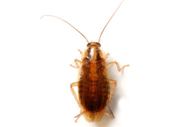 5 Home Remedies to Get Rid of  Roaches