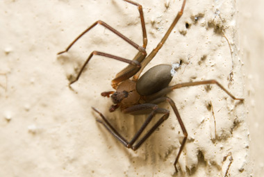 Brown Recluse Removal