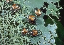 Japanese Beetles On Trees