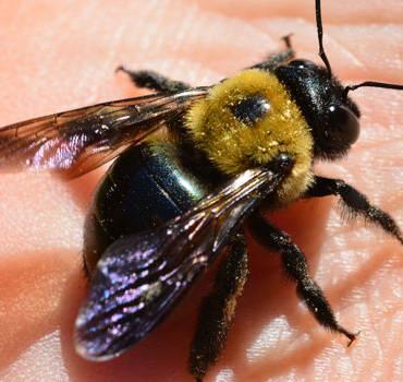 Carpenter Bees Season