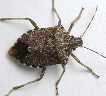 Stink Bugs in Kansas City Homes