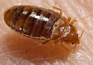 Will a Bed Bug bite spread Disease?