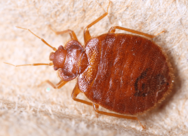 Bed Bugs Treatments and Procedures