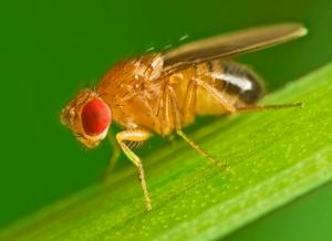 fruit flies in Kanas City
