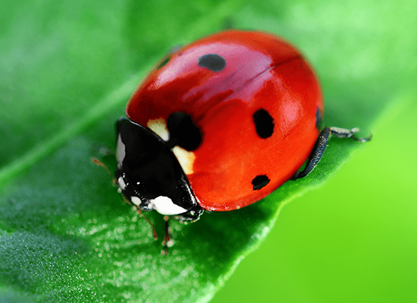 Lady Bug Truly Green Pest Control