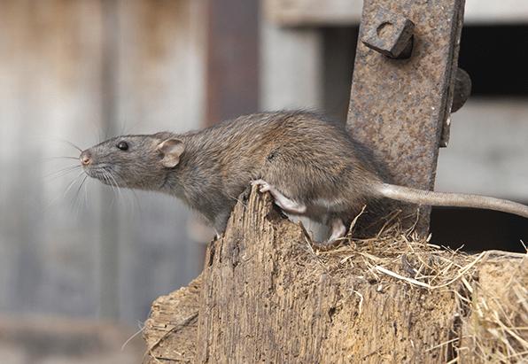Spike of Rats During Coronavirus (BBC)