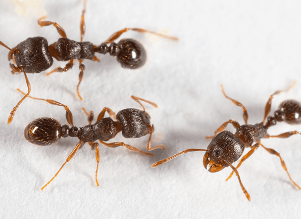 pavement ants exterminator Kansas City