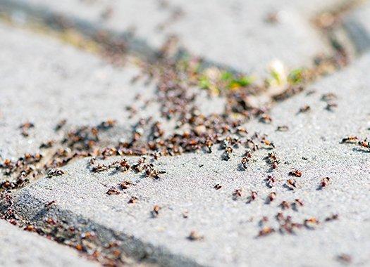 Pavement Ants Around My Kansas City Home