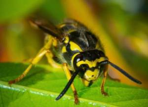 yellow jacket wasp perched on a leaf in a garden