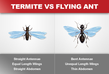 Flying Ants vs. Termites