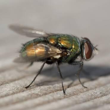 Keep Blowflies Out of Kansas City Home