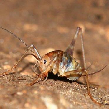 Camel Crickets In Your Home?