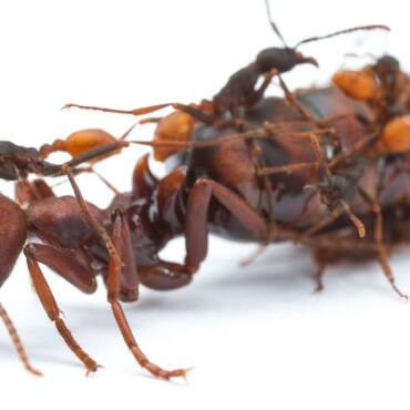How the Queen Ant Operates