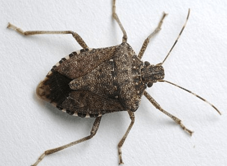 Stink Bugs In Your Kansas City Home