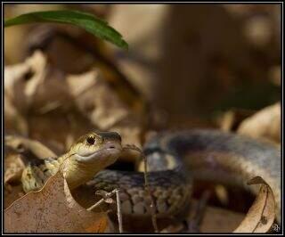 Garter Snakes In Kansas City