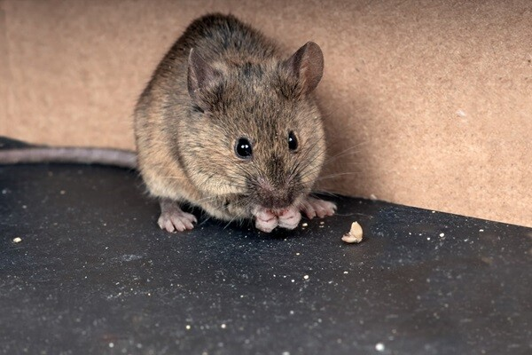 Eight Best Ways To Get Rid of Mice