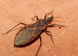 Do Kissing Bug actually Kiss
