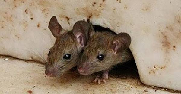 Mouse VS Rats