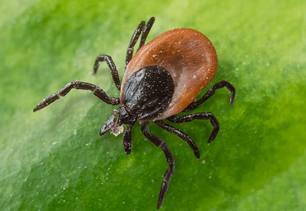 Kansas Ticks Lyme Disease