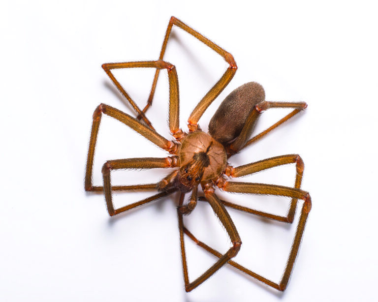 Brown Recluse in your home