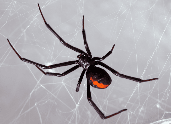 Spiders in Your Kansas City Home