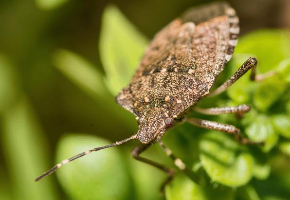 Stink Bug In Kansas City