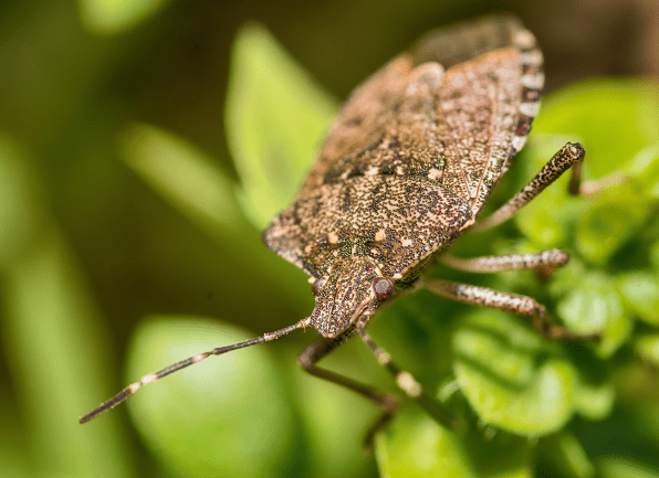 Stink Bug In Kansas City