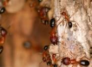 Carpenter Ant on Tree