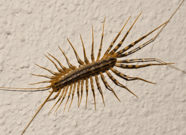 House Centipedes in Kansas City