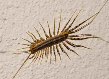 House Centipedes in Kansas City