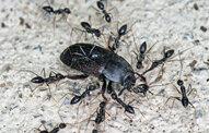 Crazy Ants in Kansas City