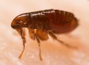 Natural Flea Control