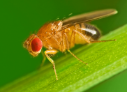 Fruit fly in my kitchen