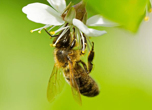Honey Bees in Kansas City