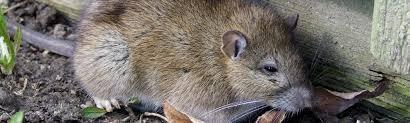 Norway rat header