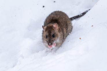Home Rodent Proof in The Winter