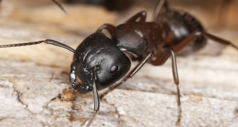 Effective Ant Prevention Tips for Kansas City Home Owners