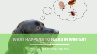 Fleas in The Winter