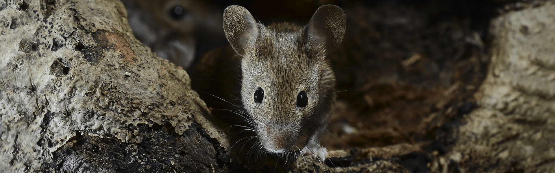 rats & Mice Truly Green Pest Control