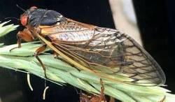 Cicadas in Kansas City